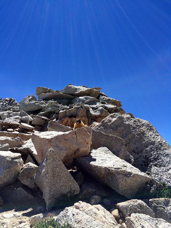 forester-marmot